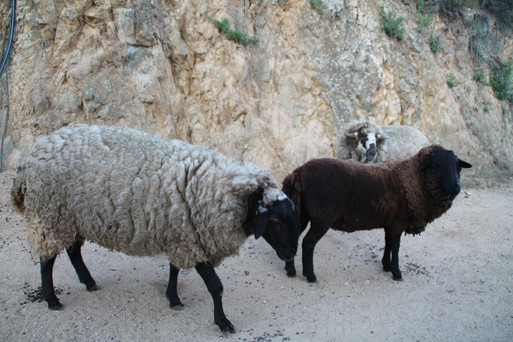 La familia de ovejas de la casa