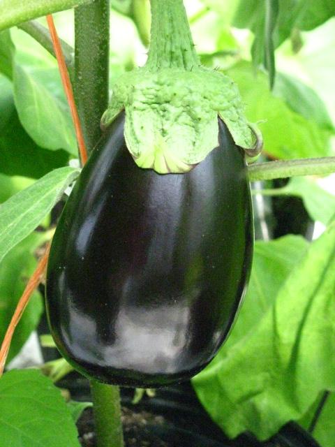 aubergine 2 jardins kamouraska