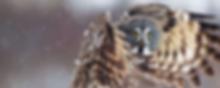 Vliegende uil die je recht aankijkt