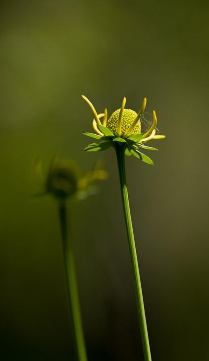 Duplicating Flower