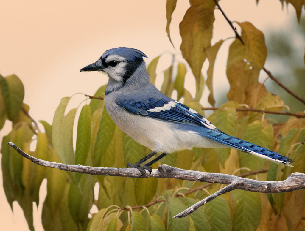 Autumn Bluejay - 9 points