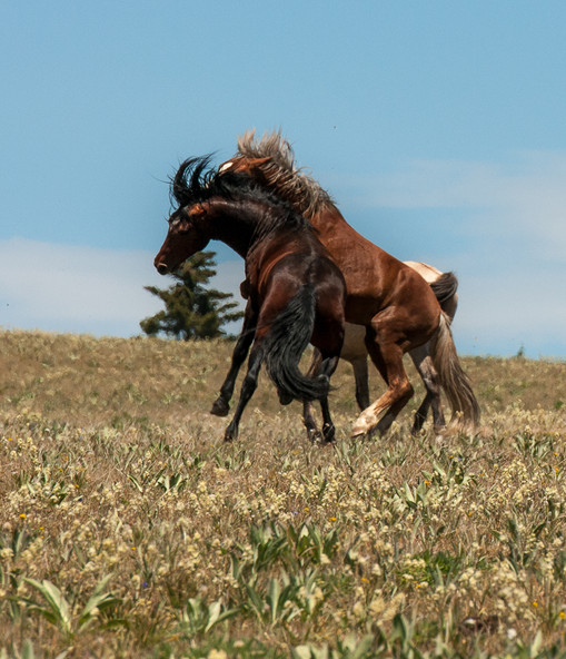 Wild Stallions Fighting