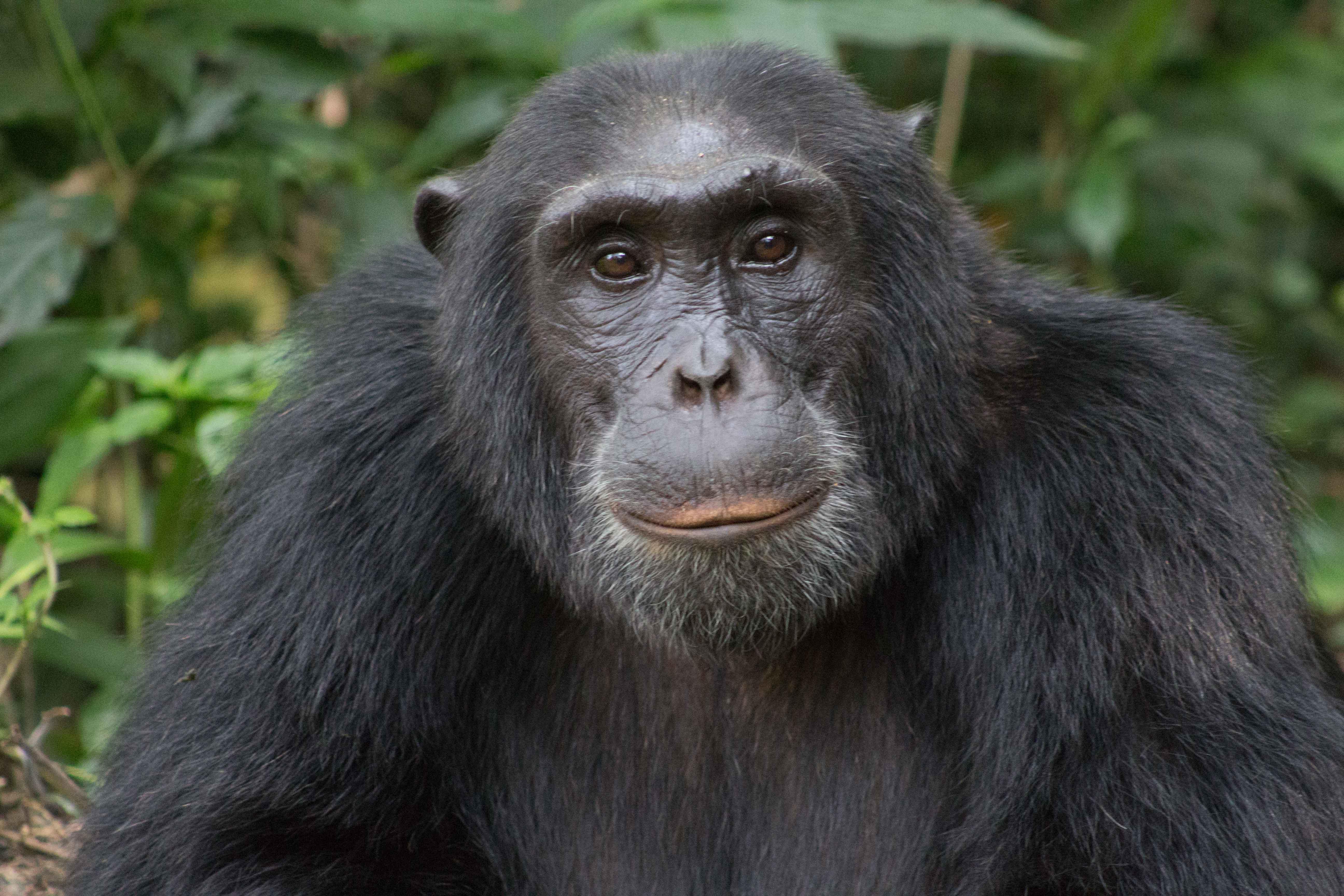 Carolyn Jones - Old Chimp