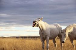 Michele Pedersen - Laughing Horses