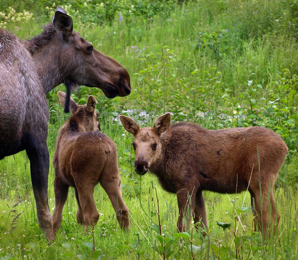 Laurie Gebhard - Alaska Moose