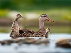 quack me up - 10 pts
