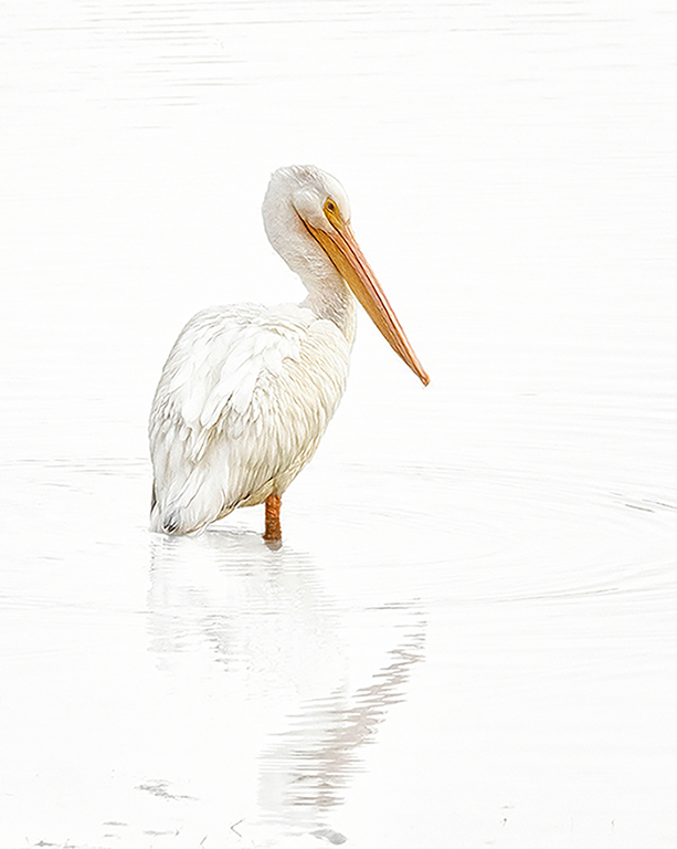1st Place - White Pelican