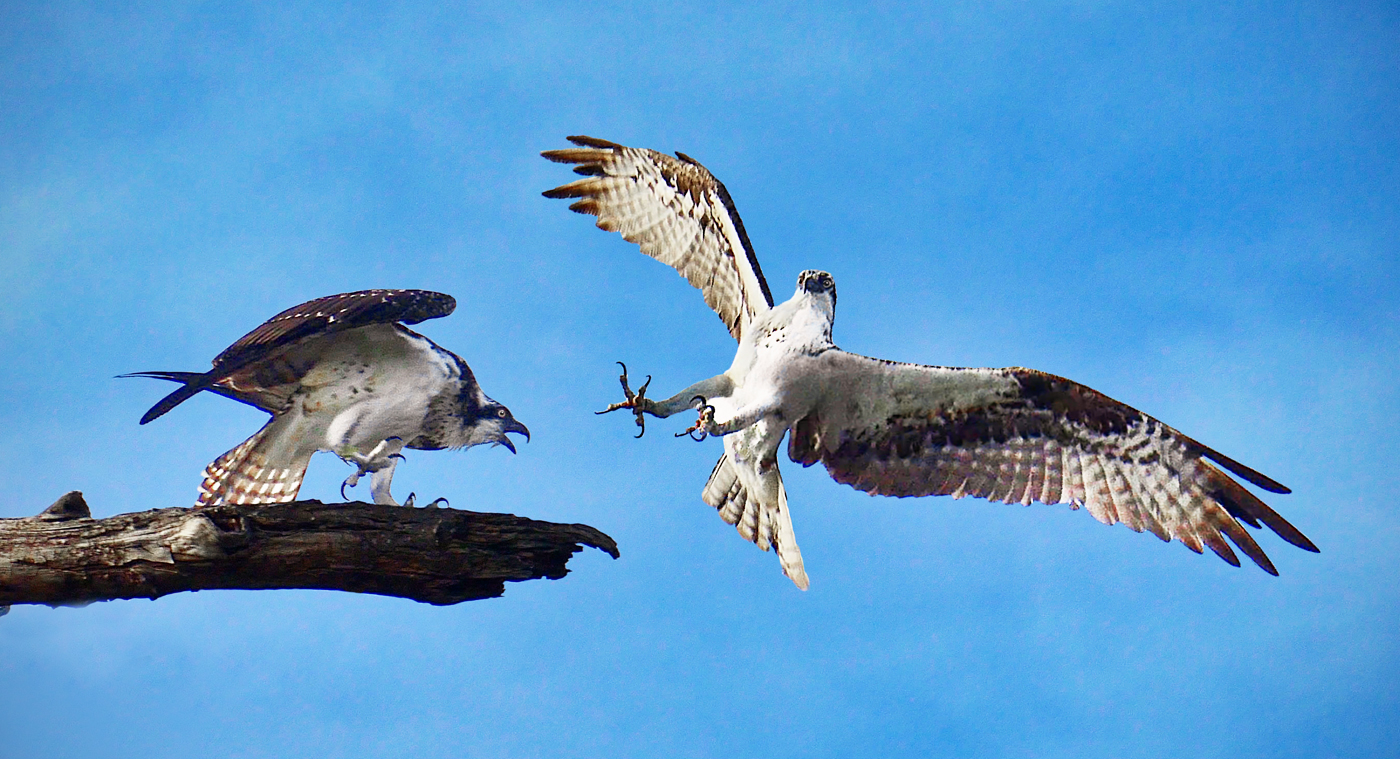 Osprey Encounter - 11 pts
