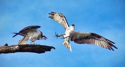 Osprey Encounter - 11 pts