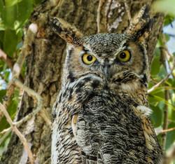 Dianne McDermand - Great Horned Owl