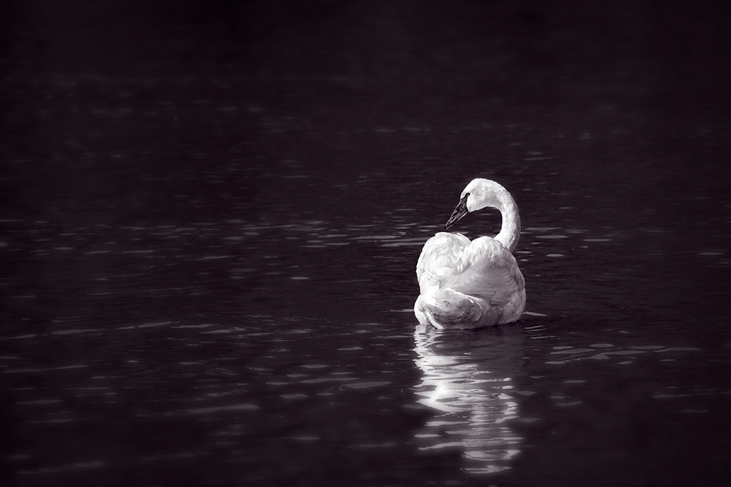 Reflections of the White Swan