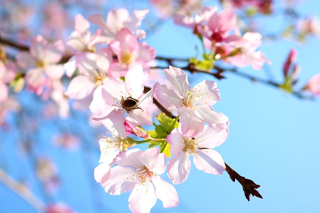 Finding gratitude for beautiful pink apple blossoms against a clear blue sky can benefit Highly Sensitive Persons.