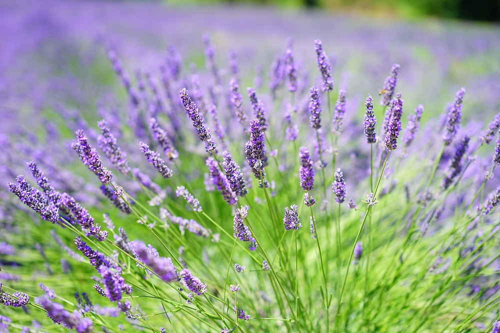 A Magical Field of Purple Lavender