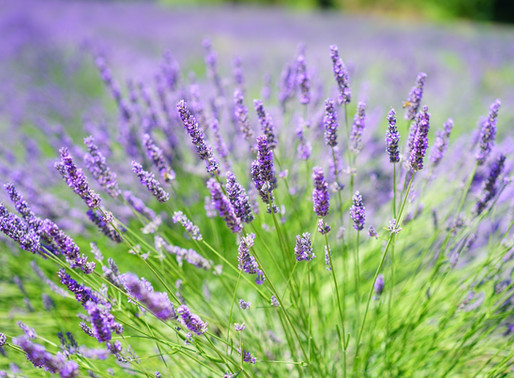 Lavender ~ Amazing Plant Medicine. Don't You Just Love it?