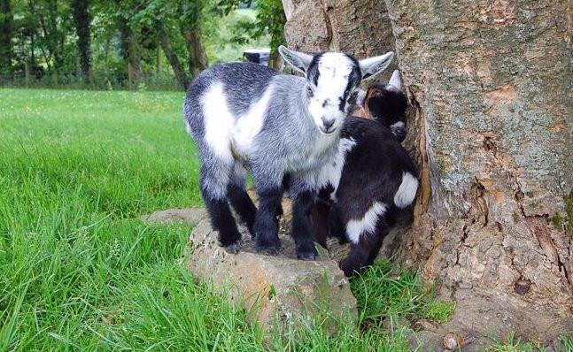 Pygmy goats playing at Tregolls Farm