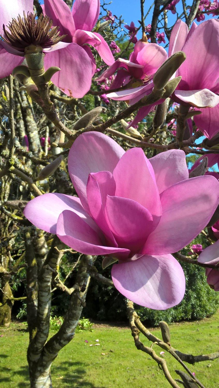 Magnolia at Lanhydrock - Tregolls Farm