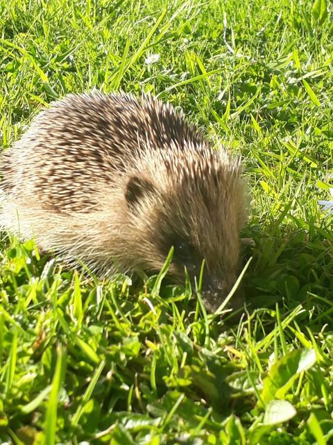 April hedgehog - Prickles & Paws - Tregolls Cornwall