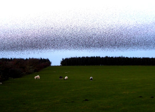 A Starling Spectacle