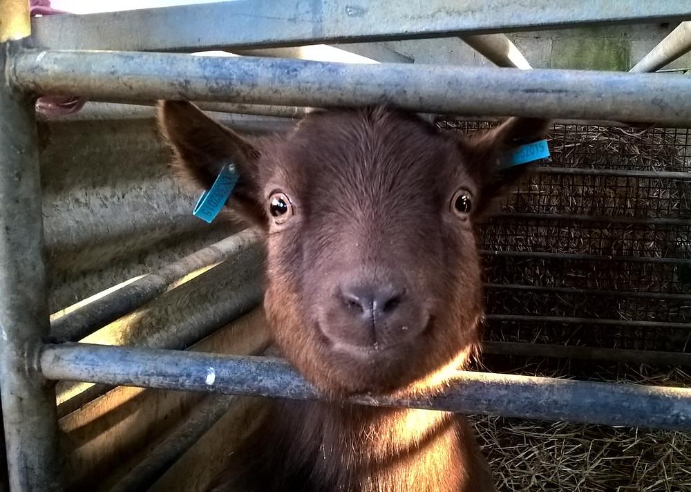 Betsy pygmy goat Tregolls Farm Cottages