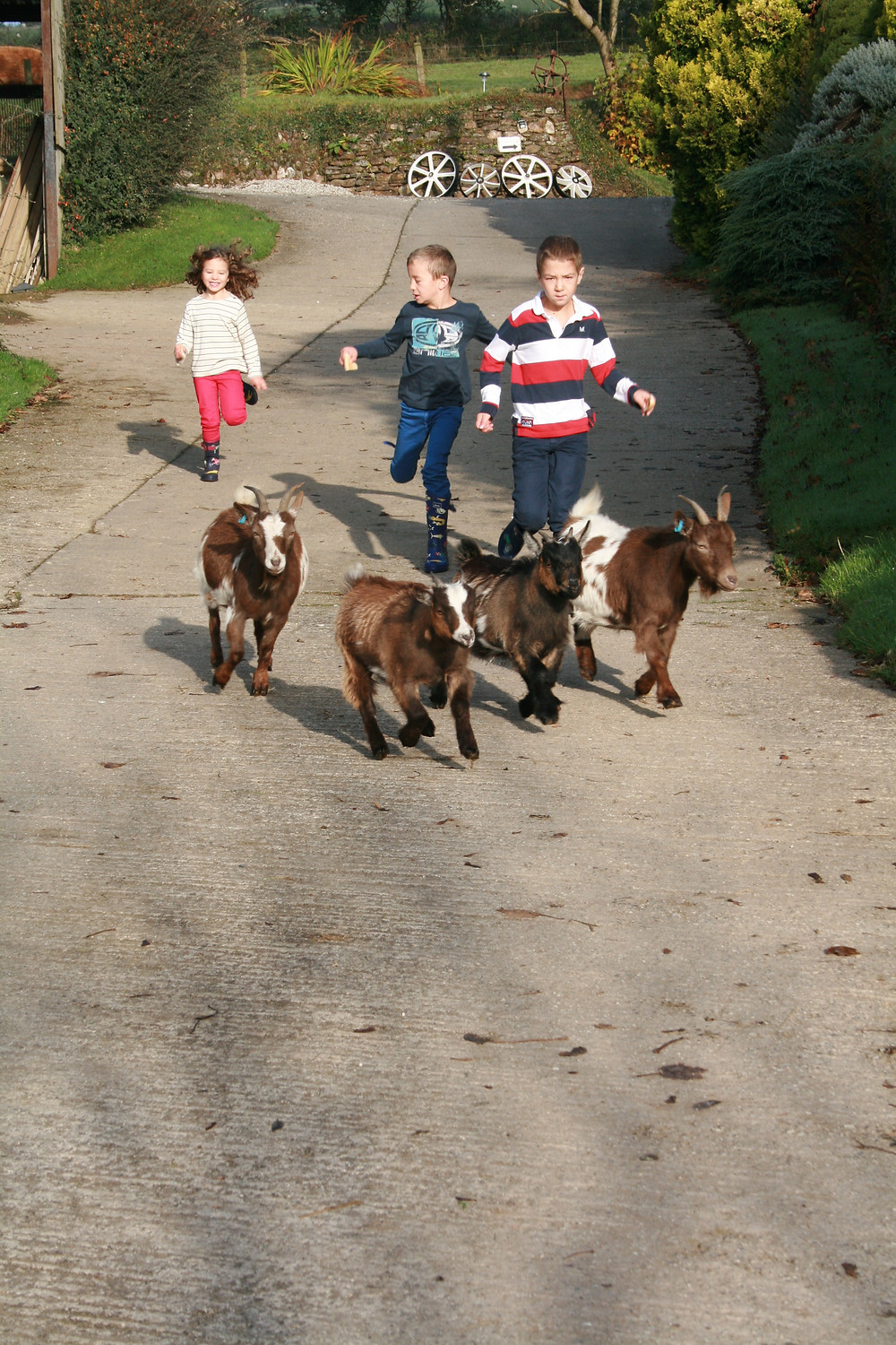 Running with pygmy goats Tregolls Farm Cottages Cornwall