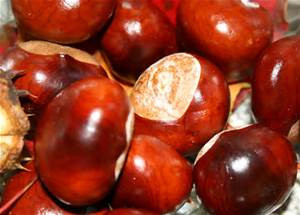 Tregolls Farm Guide to Playing Conkers