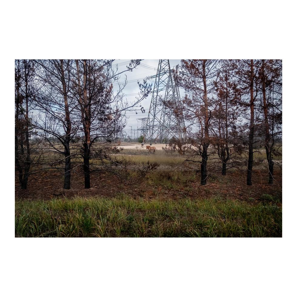Sur la route de Pripyat, les animaux vivent en liberté.