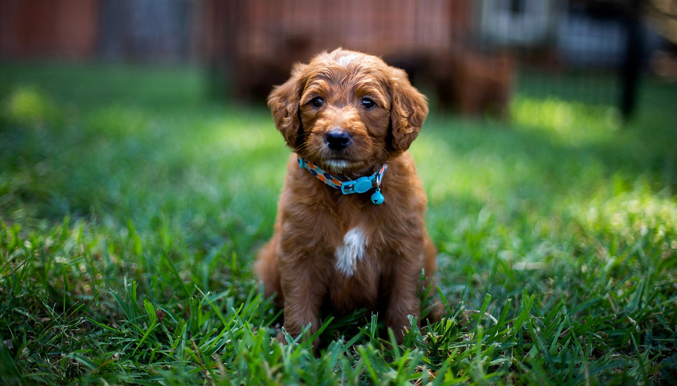 red puppy in grass