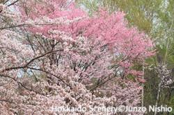 桜2_札幌市南区
