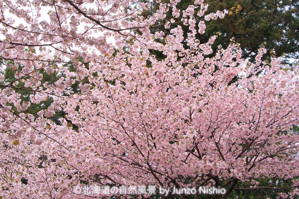 2019年の桜3 北海道神宮