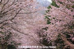 2019年の桜1 北海道神宮