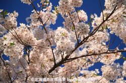 2019年の桜14 札幌市北区