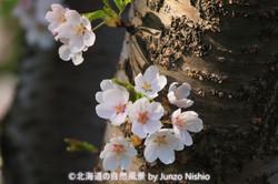2019年の桜9 札幌市北区
