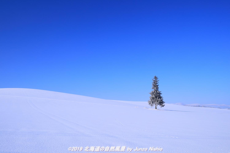 冬晴れのクリスマスツリーの木