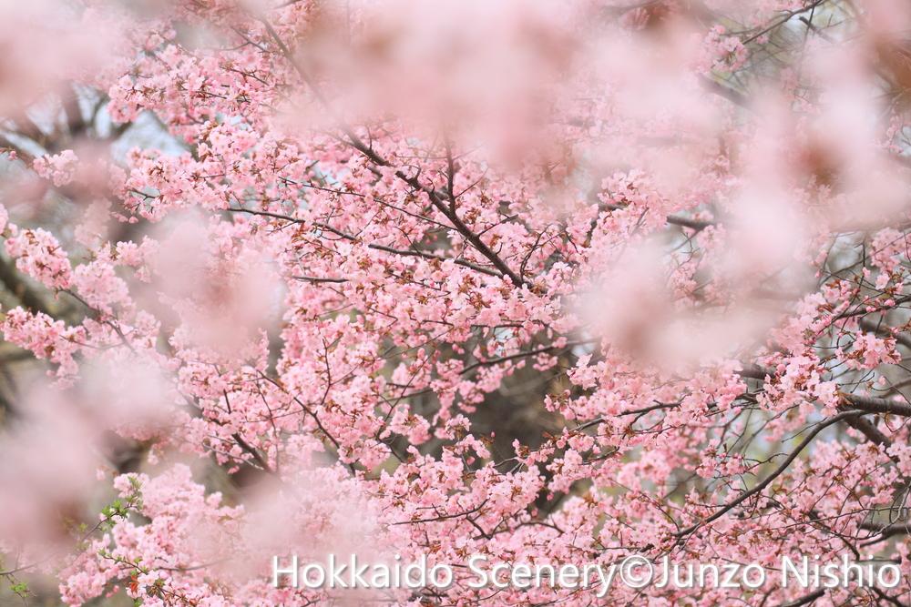 桜4_札幌市南区