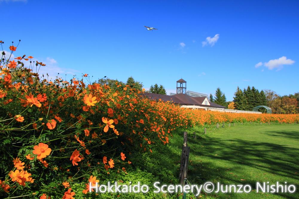 オレンジ色のコスモス_札幌市北区