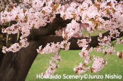 桜3_札幌市南区