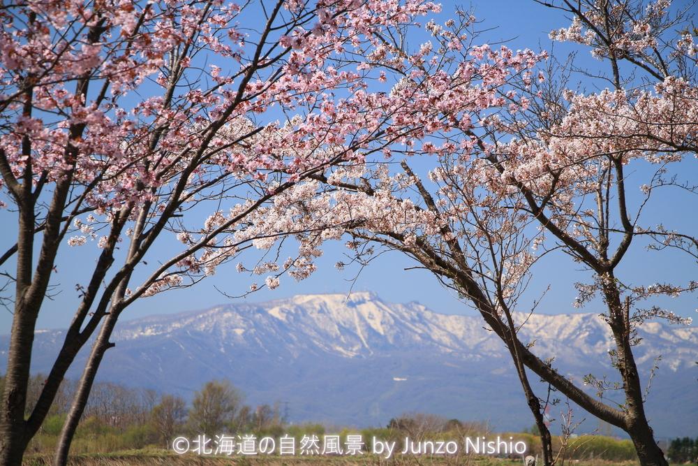 2019年の桜16 石狩市郊外