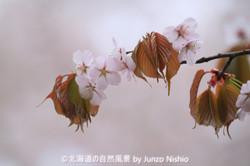 2019年の桜4 北海道神宮