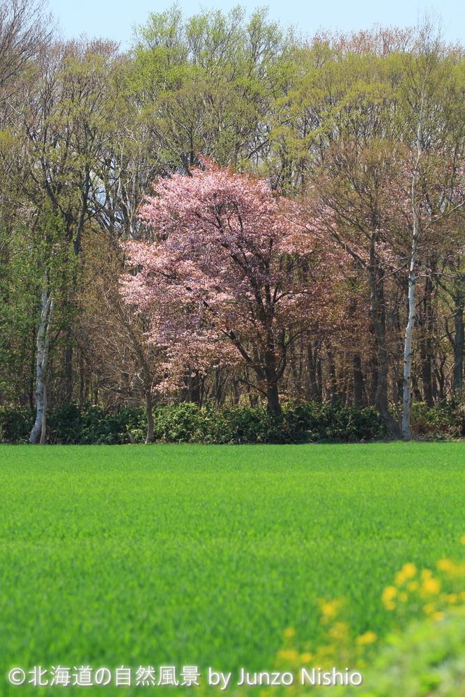 2019年の桜10 石狩市郊外
