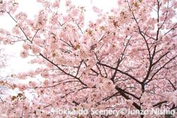 桜5_札幌市南区