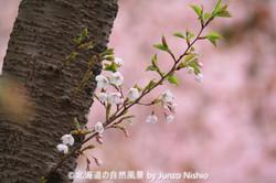2019年の桜2 北海道神宮