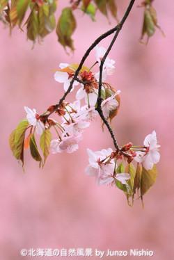 2019年の桜5 北海道神宮