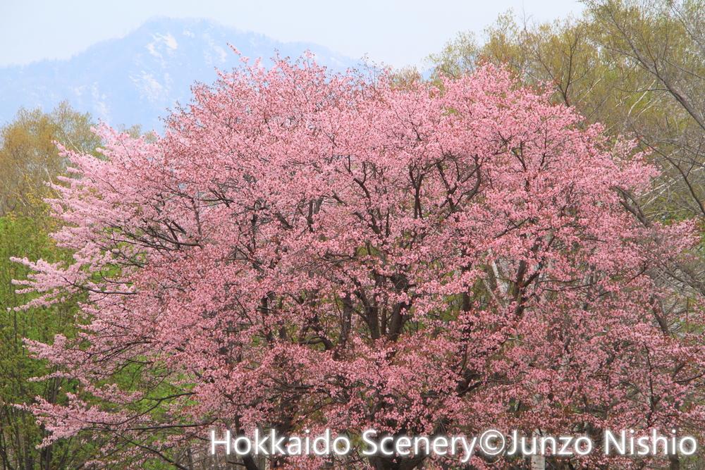 桜1_札幌市南区