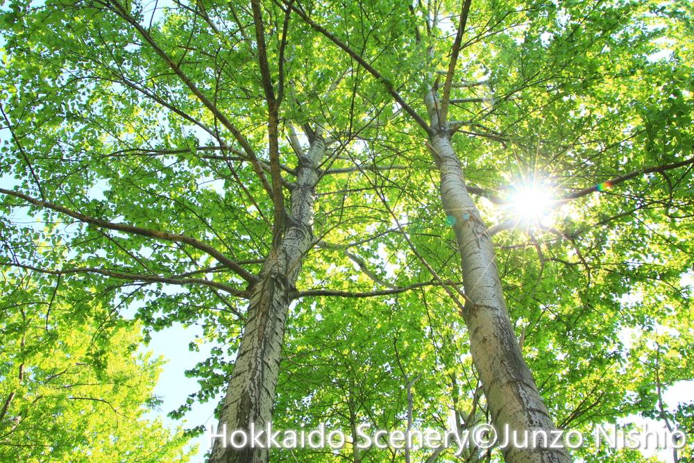 新緑の白樺2_石狩市郊外