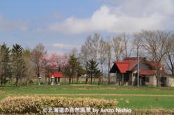 2019年の桜7 石狩市郊外
