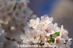 2019年の桜11 石狩市郊外