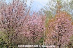 2019年の桜8 札幌市手稲区