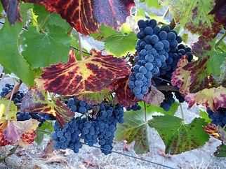 soliste_grapes_leaves.JPG
