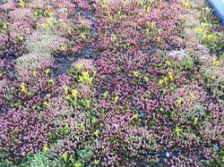 Sedum Green Roof