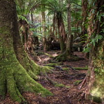 Old growth rainforest at the Tarkine Wilderness Lodge, TAS